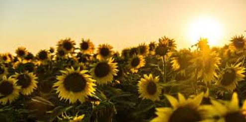 sunflowers-image